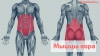 Мышцы кора - это целый комплекс мышц, которые отвечают за стабилизацию таза, бедер и позвоночника.
